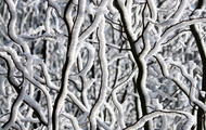 <p>Snow covered tree branches.</p>
