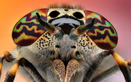 <p>Horse fly close-up.</p>