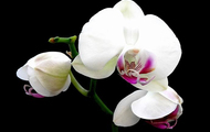 <p>Orchid.</p>